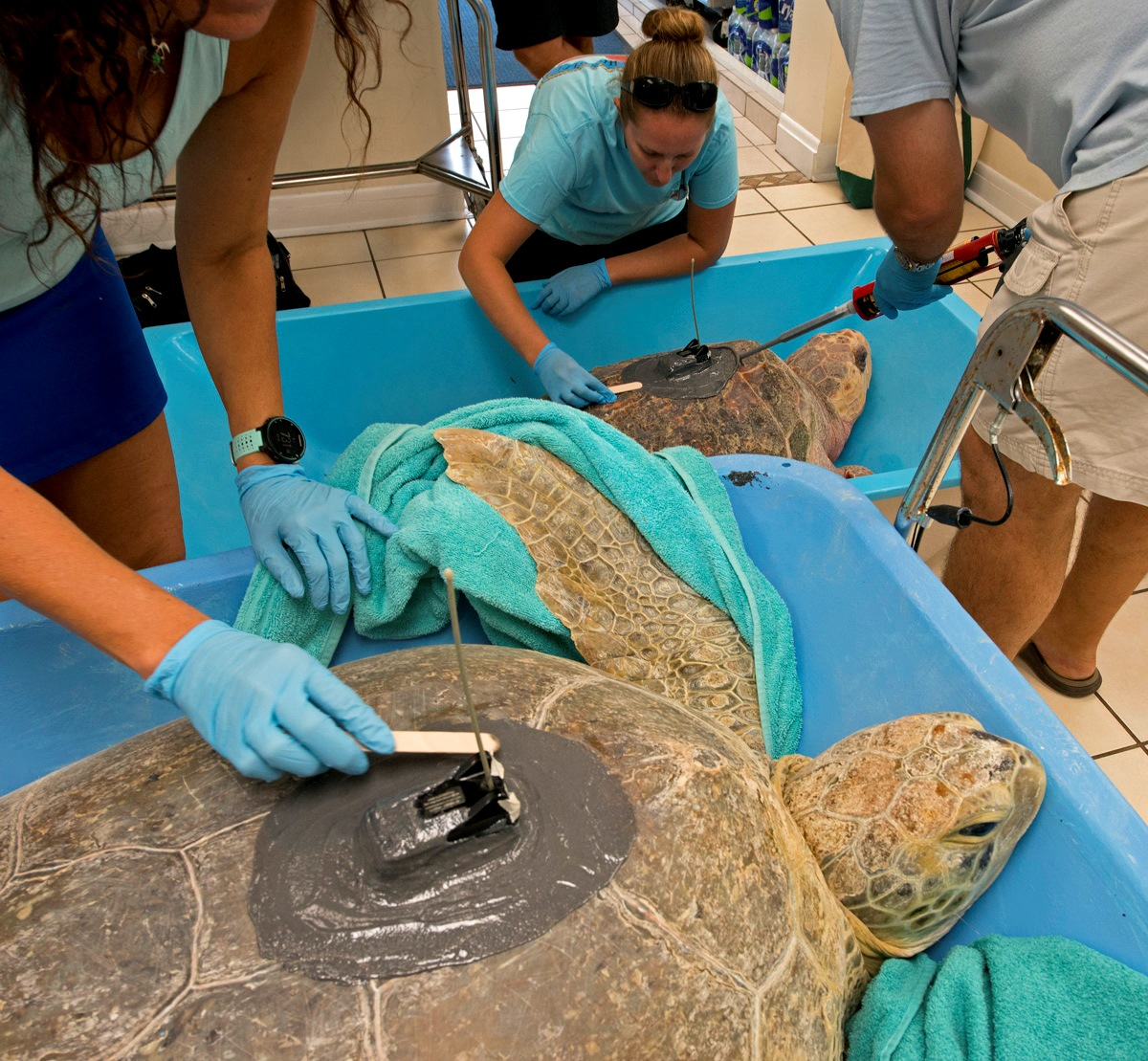 "Turtles Little Money and Coco are fitted with transmitters at The Turtle Hospital in July 2018.The team spread epoxy to secure the satellite transmitters to ""Little Money,"" a 365-pound female green sea turtle (left), and ""Coco."" The two turtles were simultaneously released off the Florida Keys to become part of the ""Tour de Turtles."""