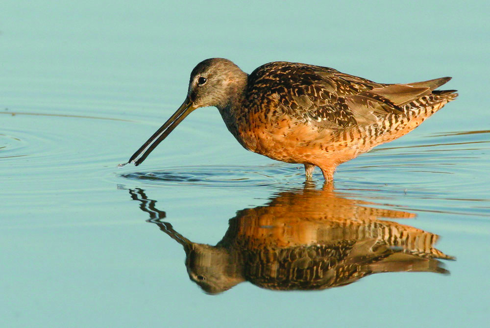 A longbilled dowitcher foraging. Standing water is considered critical habitat for these and other shorebirds, as well as waterfowl such as ducks and geese.