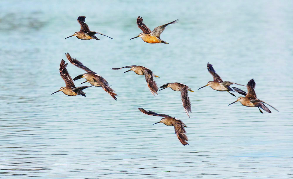 A flock of dowitchers glide above the water.