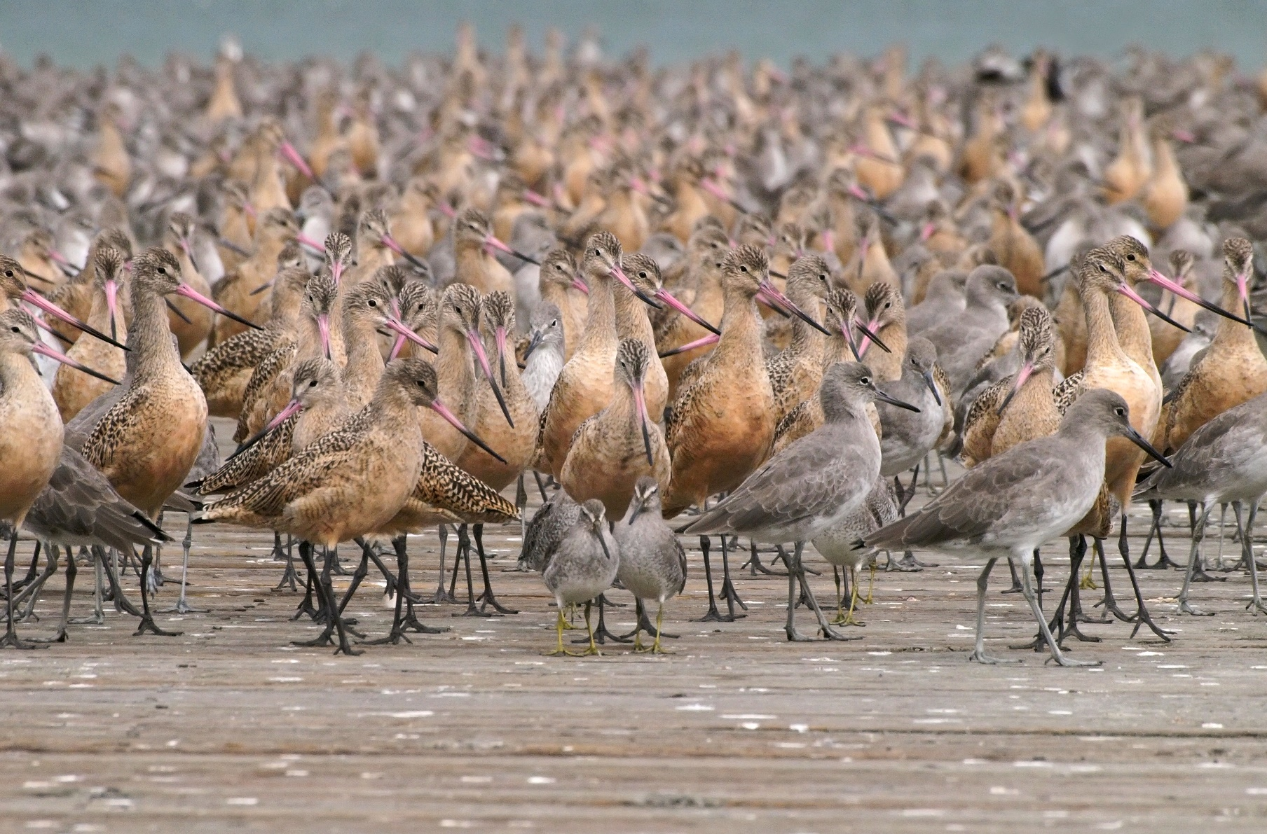 A gathering of godwits, dowitchers, willets, and other shorebirds.