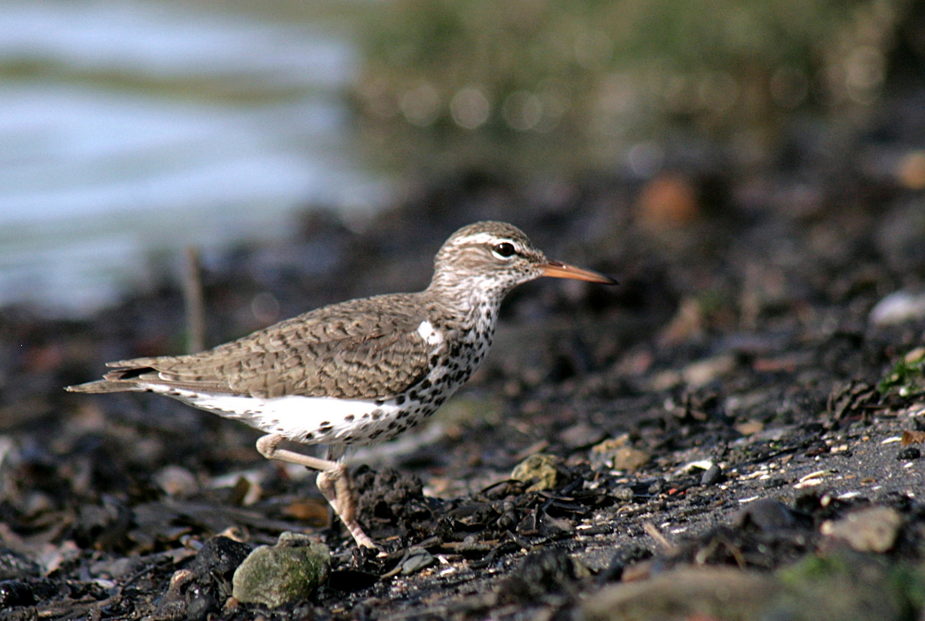 Spotted sandpipers are another shorebird species found in the study region.