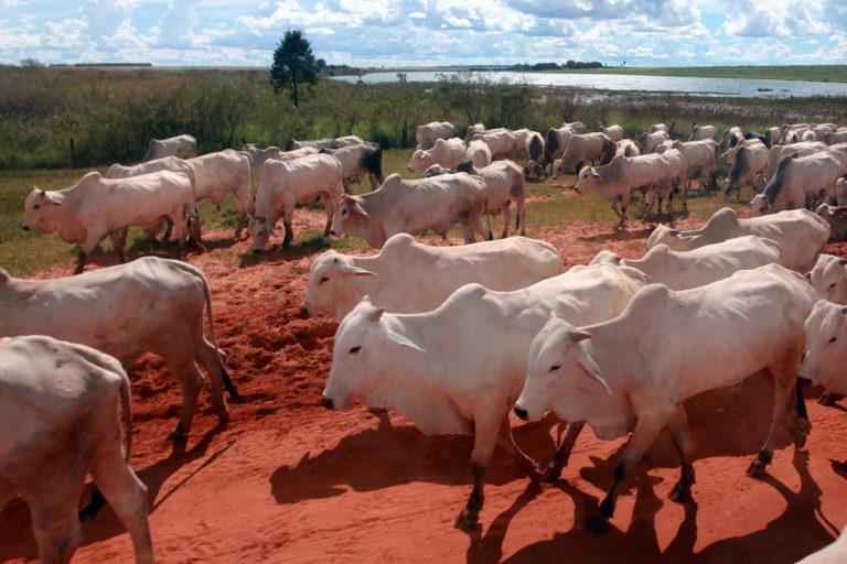 Cattle in Mato Grosso, Brazil. Photo by Rhett A. Butler for Mongabay.