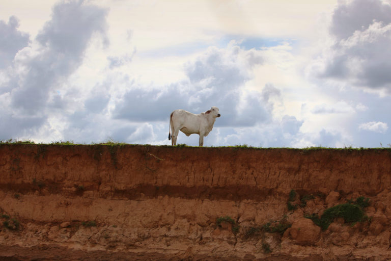 Cow in Colombia. Photo by Rhett A. Butler for Mongabay