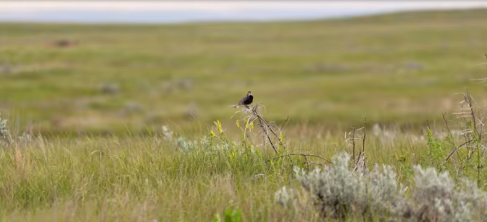 The grassland ecosystem is home to a variety of ground-nesting birds. Small nests built into the thick grass are difficult to find. Predation typically occurs when a larger animal happens to find a nest and eats eggs or nestlings opportunistically. I