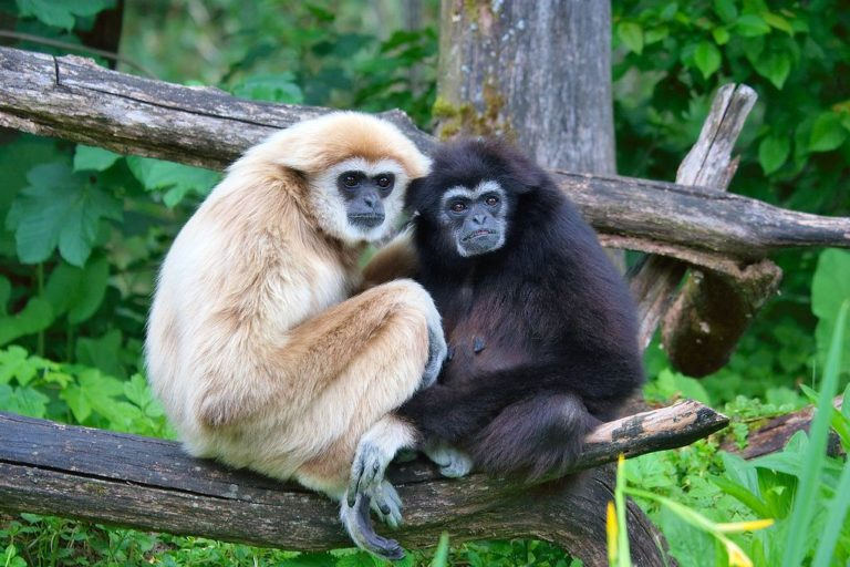 Conservation news on Gibbons