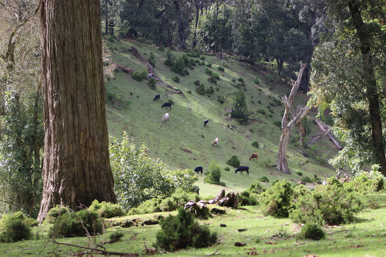 Cattle grazing inside Embobut Forest in May 2018. Image by Anthony Langat for Mongabay.
