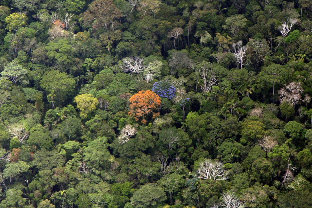 Flowering trees in the Amazon rainforest canopy. Photo by Rhett A. Butler.
