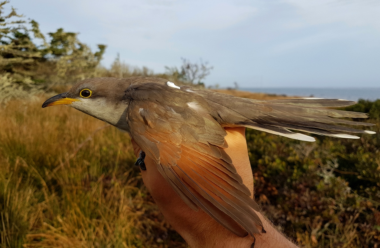 A recently tagged yellow-billed cuckoo ready to be released.