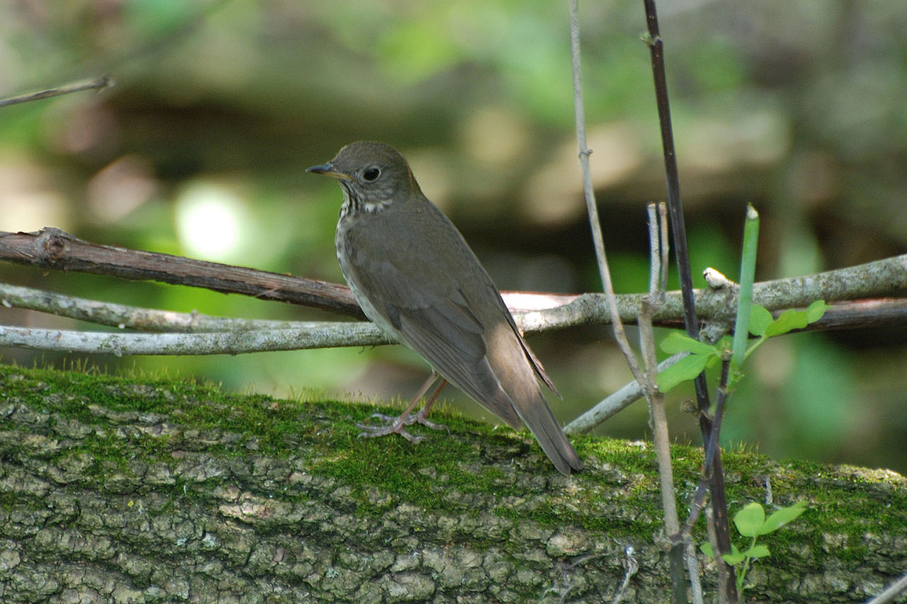 A gray-cheeked thrush pauses in Magee Marsh, Ohio during its northward spring migration.