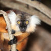 Black lemur on Nosy Komba, Madagascar. Photo by Rhett A. Butler