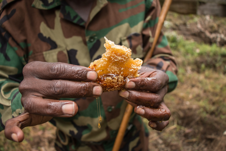 A Kenya Forest Service ranger holds honeycomb from one of Franiz Maritim's beehives. Image by Nathan Siegel for Mongabay.