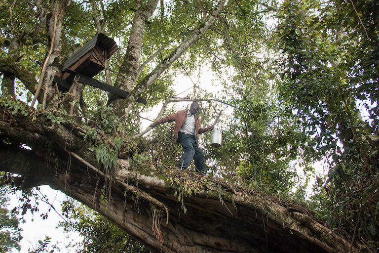 Franiz Maritim harvests honey from a beehive. Image by Nathan Siegel for Mongabay.