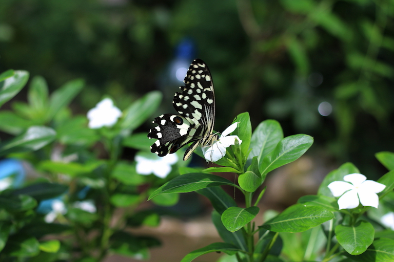 A citrus butterfly (Papilio demodocus) in Kaya Kauma. Image by Sophie Mbugua for Mongabay.