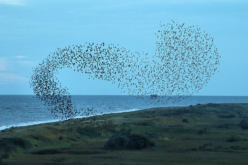 The fascinating patterns that starling murmurations can create prompt even non-bird watchers to photograph and mention them via Twitter.