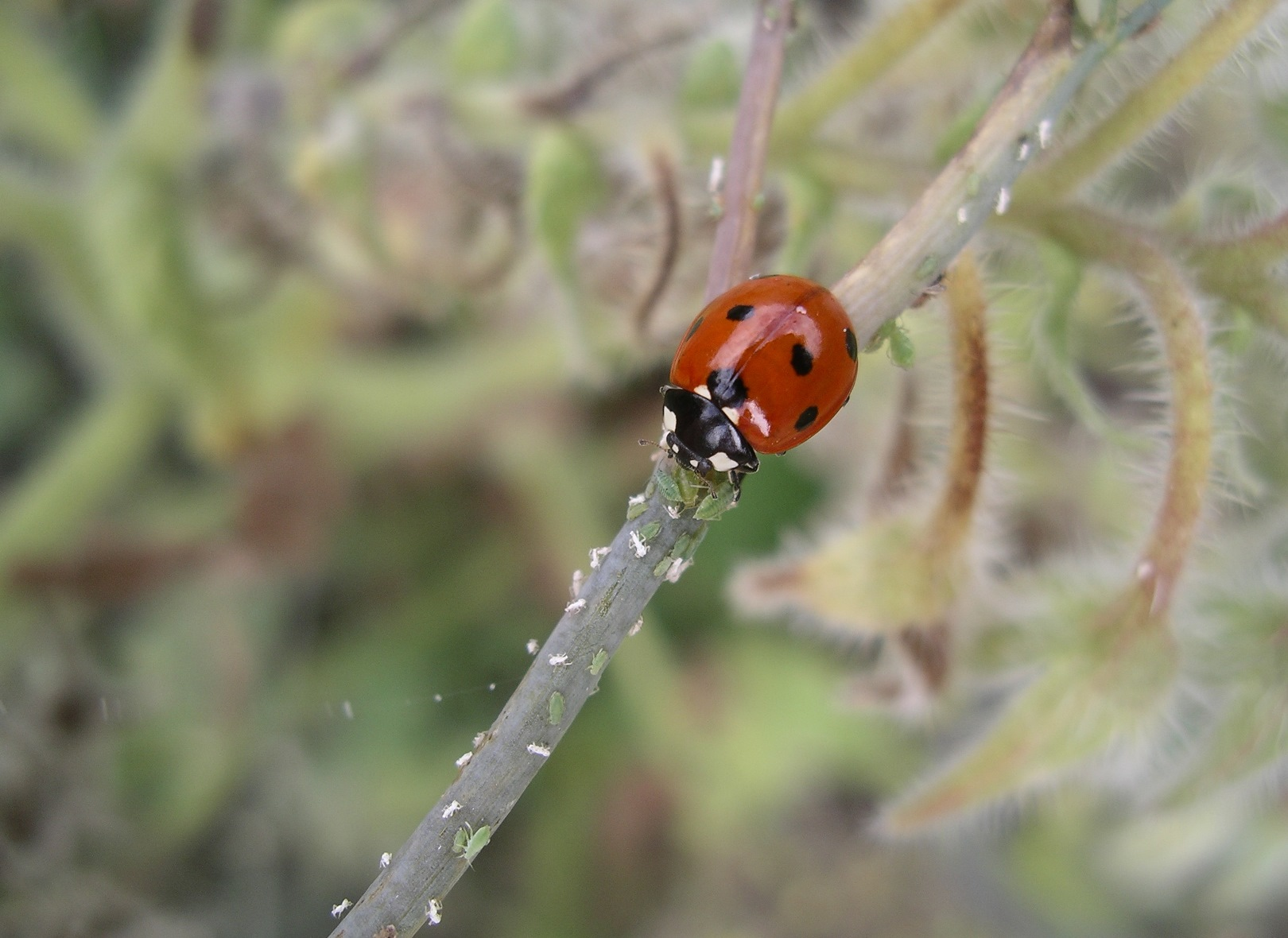 An adult 7-spot ladybird feeding on aphids. The ladybird citizen science challenge uses Twitter for engagement and education.