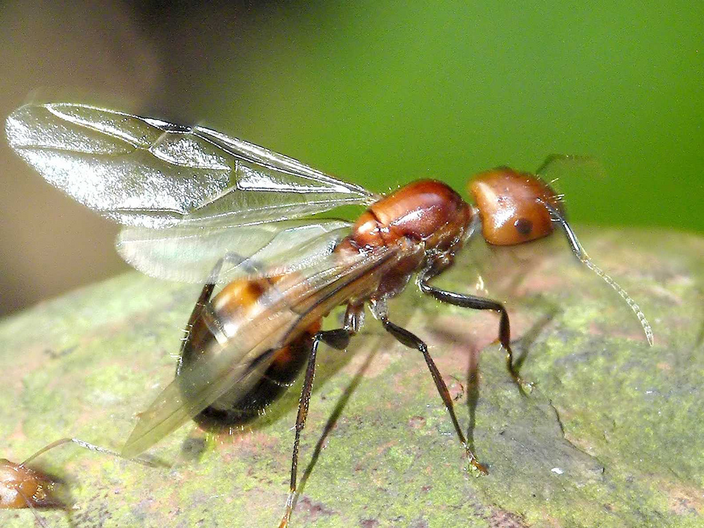 Ants in their flying reproductive stage also spark interest on Twitter.