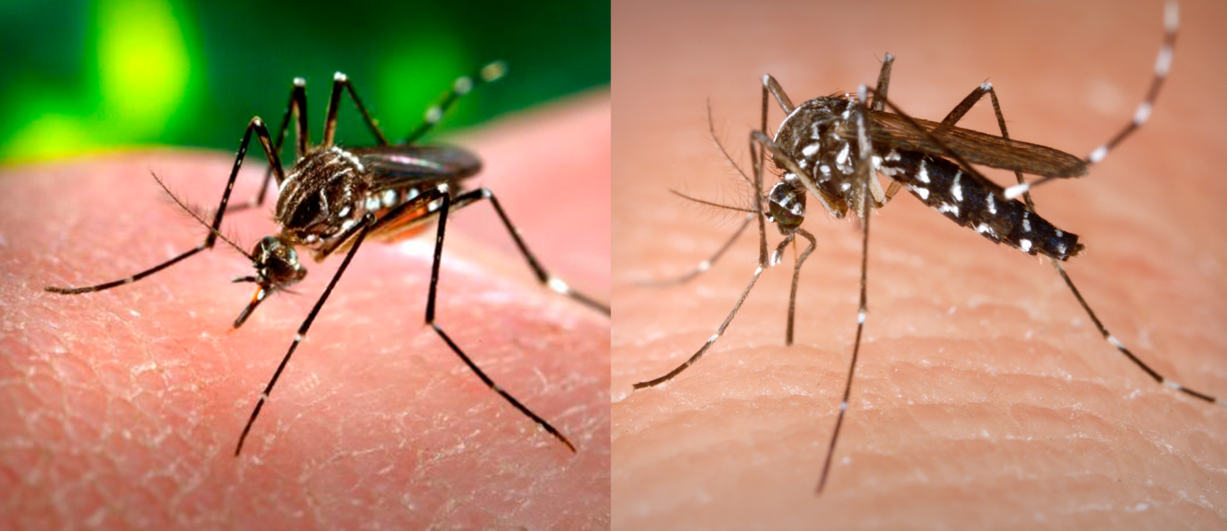 Visual identification of Ae. aegypti (left) can be difficult, as the mosquito resembles the closely related and also dangerous Ae. albopictus (right). Because the ranges of these mosquitoes are shifting with climate change, quickly identifying mosquitoes will help understand what areas are under threat from infectious disease.