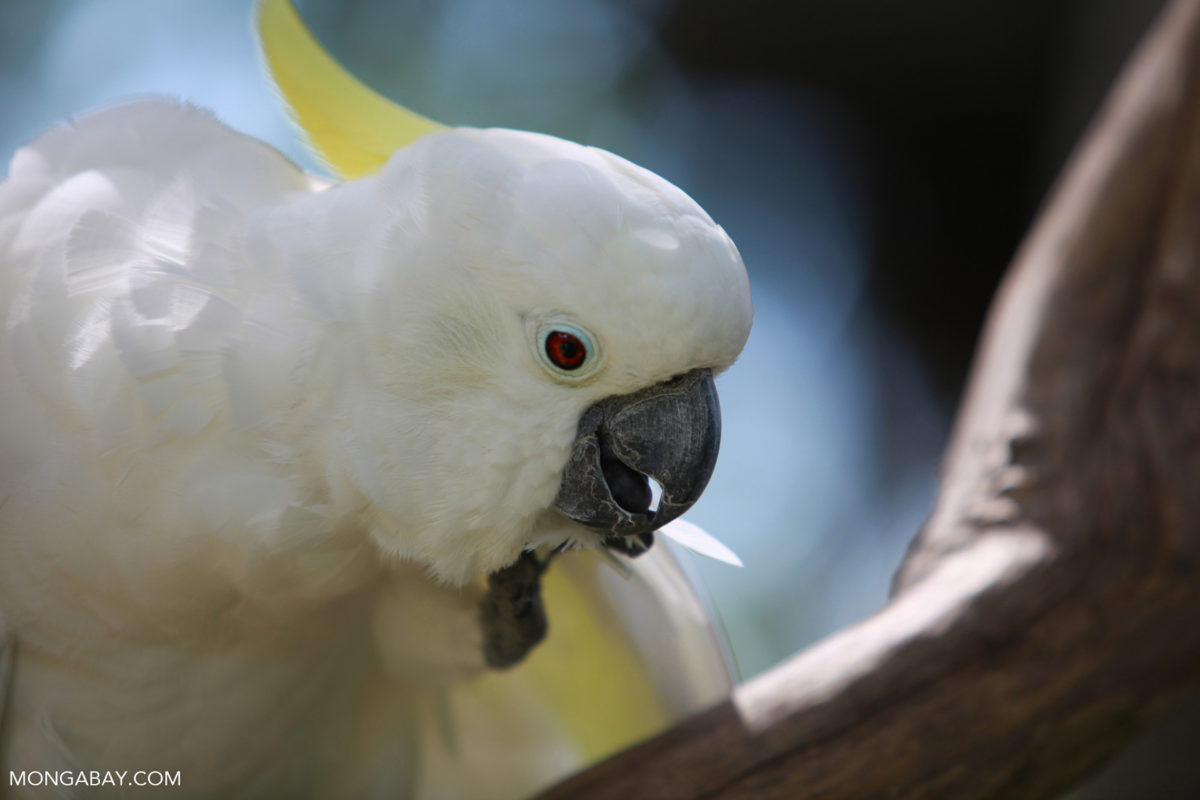 Indonesian New Guinea is home to species like this Sulphur-crested Cockatoo (Cacatua galerita). Photo by Rhett A. Butler.
