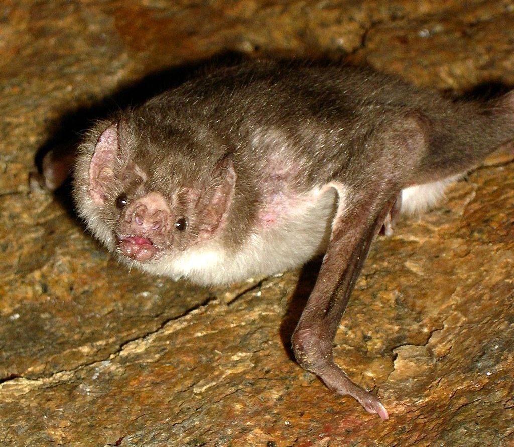 A common vampire bat, one of the eight common species documented by Botto and colleagues, is found from Central America south to Uruguay.