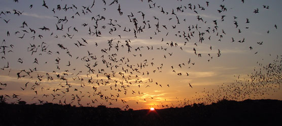 Brazilian free-tailed bats (a.k.a. Mexican free-tailed bats, Tadarida brasiliensis, roost in large numbers in caves at a few sites, making it vulnerable to population decline. The largest colony, in Texas, has nearly 20 million bats. These bats live between the central United States and central Argentina, but not in most of the Amazon rainforest.