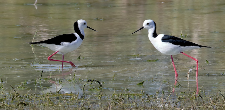 Black-winged stilts (Himantopus himantopus), a species that frequents Freedom Island in Manila. Image by Graham Winterflood via Flickr (CC BY-SA 2.0).