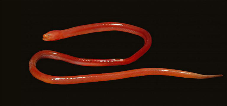 Monopterus rongsaw, a swamp eel from India. Photo © Rachunliu G Kamei