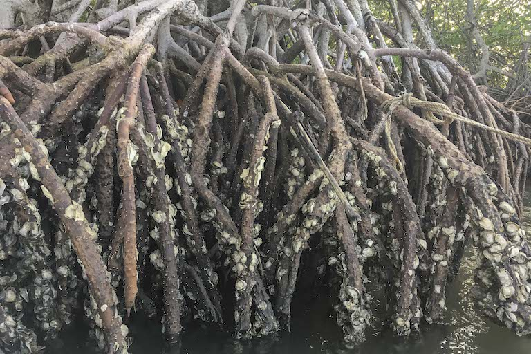 Oysters cling to the roots of the mangroves in the waters of the Casamance River. Image by Jennifer O'Mahony for Mongabay.