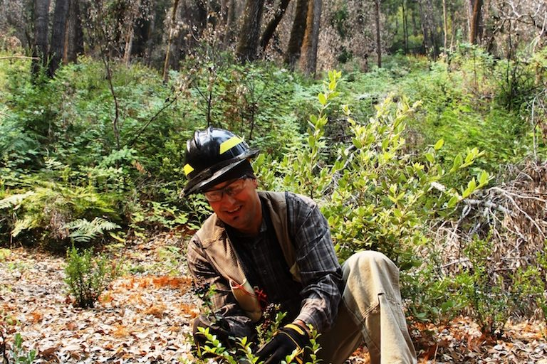 Fire and agroforestry revive California indigenous groups