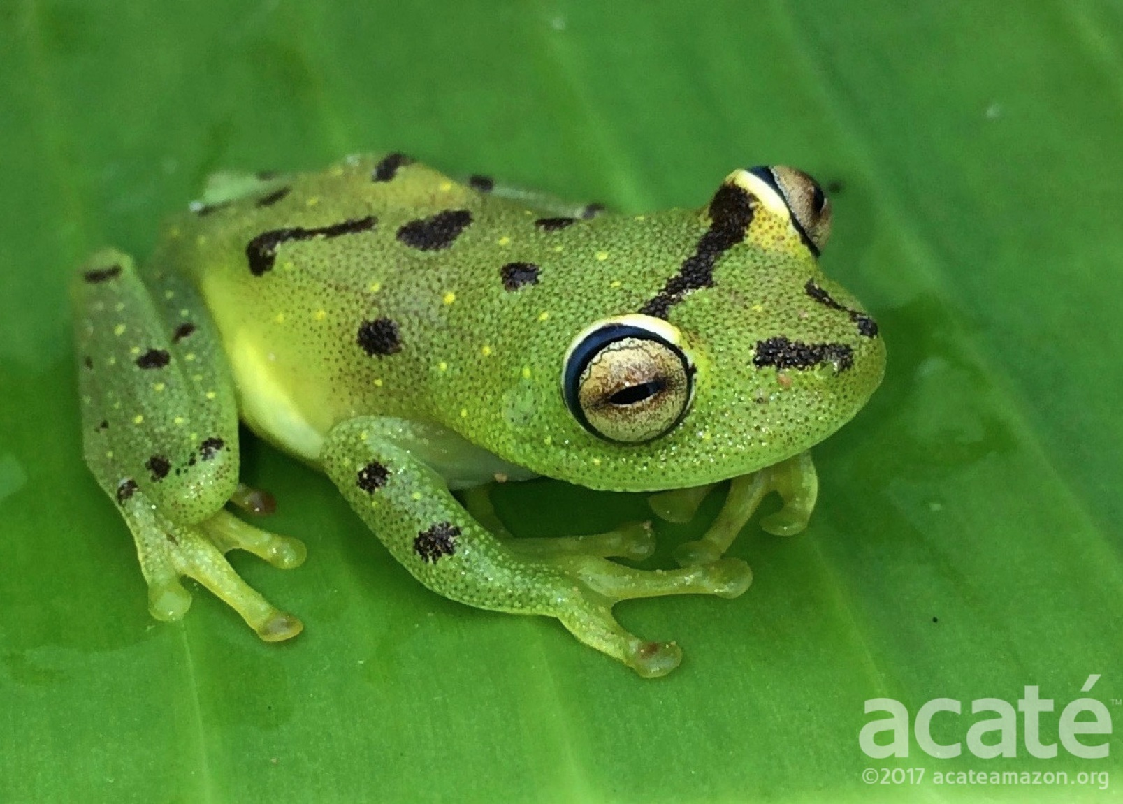 A new species of frog in the genus Hypsiboas, taken on an iPhone by the Matsés field teams.
