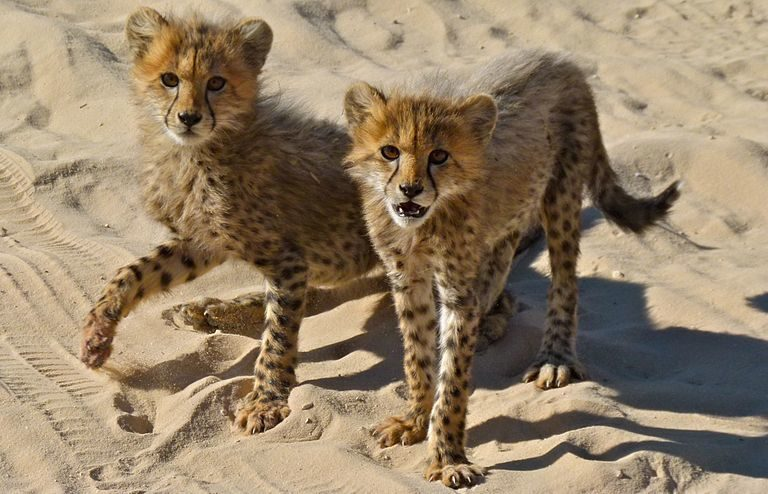 Illegal cheetah trade continues through Instagram, 4sale, YouTube