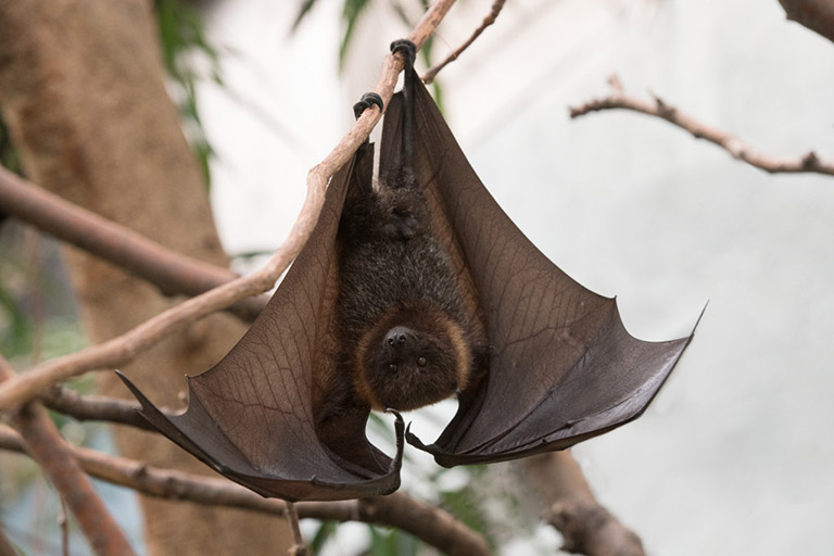 Rodrigues Flying Foxes, Pteropus rodricensis. Photos: Julie Larsen Maher