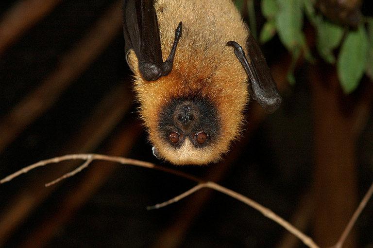 Madagascan Rousette Bats, Rousettus madagascariensis. Photos: Julie Larsen Maher