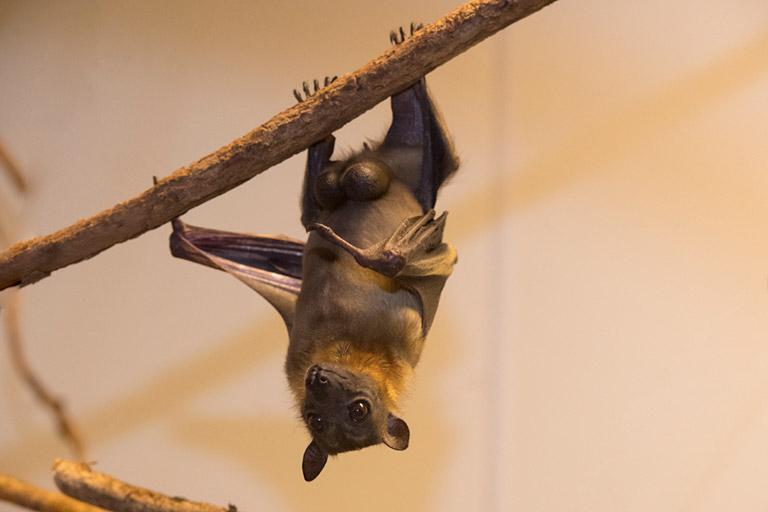 African Straw-colored Bat, Eidolon helvum. Photo: Julie Larsen Maher
