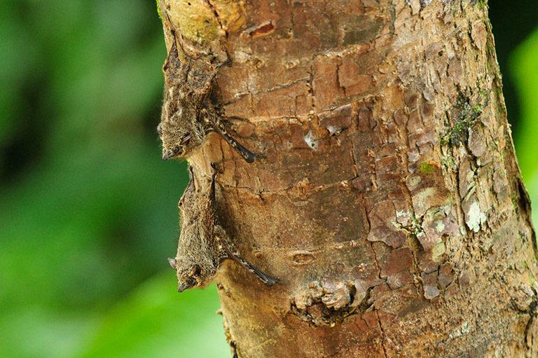 Proboscis Bats, Rhynchonycteris naso. Photo: Julie Larsen Maher