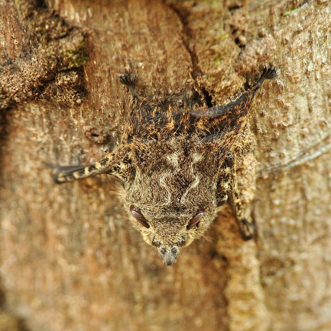 Ecuadorian Sac-winged Bats, Balantiopteryx infusca. Photo: Julie Larsen Maher