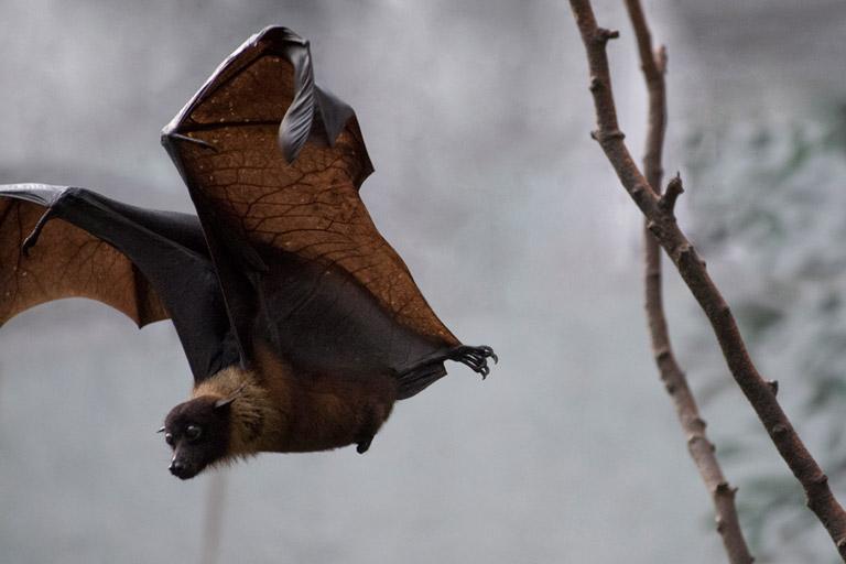 Indian Flying Fox, Pteropus giganteus. Photos: Julie Larsen Maher