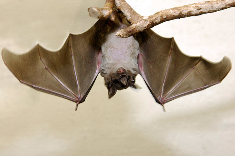 Pale Spear-nosed Bats, Phyllostomus discolor. Photo: Julie Larsen Maher