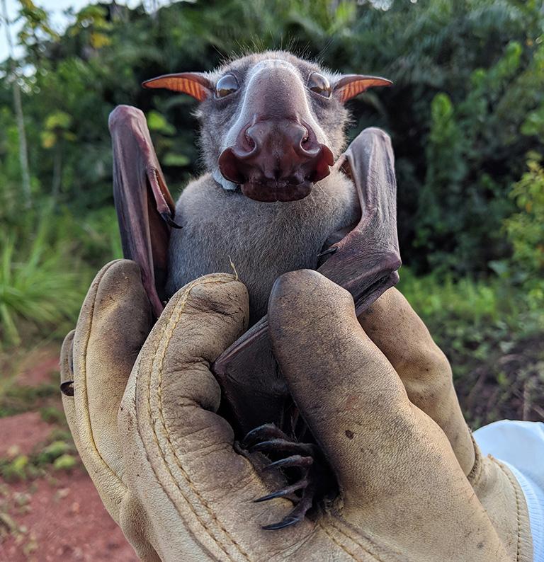 Hammer-headed Bat, Hypsignathus monstrosus. Photo: Sarah Olson