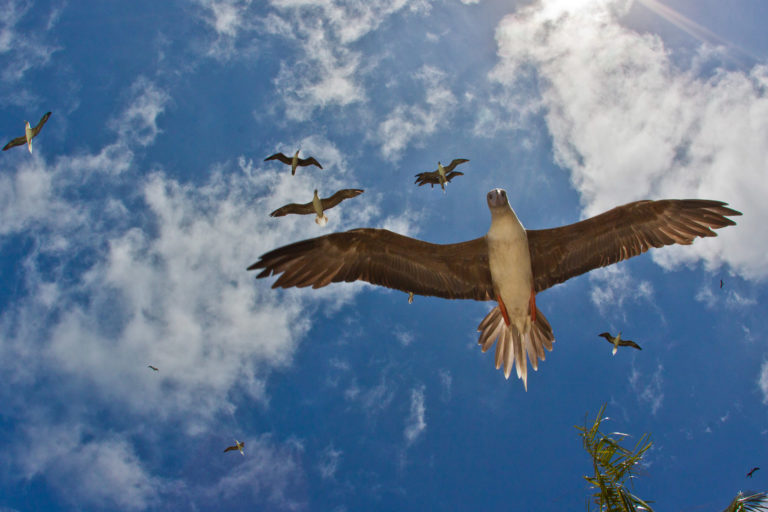 Red-footed Boobies flying over Palmyra Atoll, Northern Line Islands, USA. Photo copyright Erik Oberg / Island Conservation