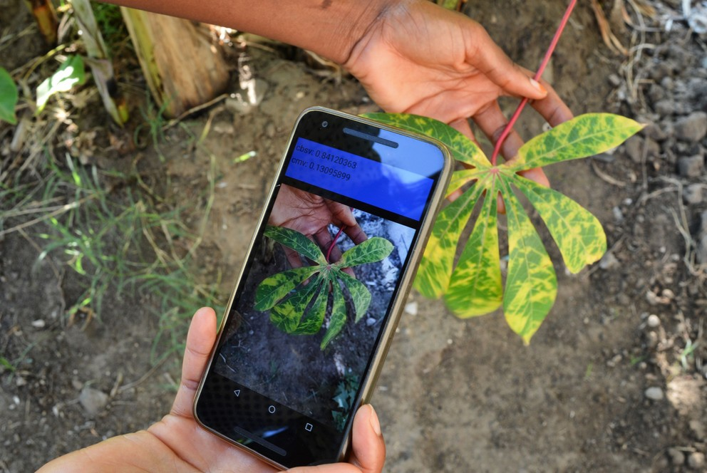 Field-testing the Nuru app with a cassava leaf in Tanzania.