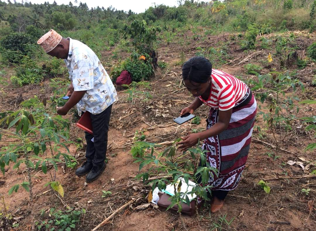 Farmers in Tanzania using the Nuru app on their cassava plants.