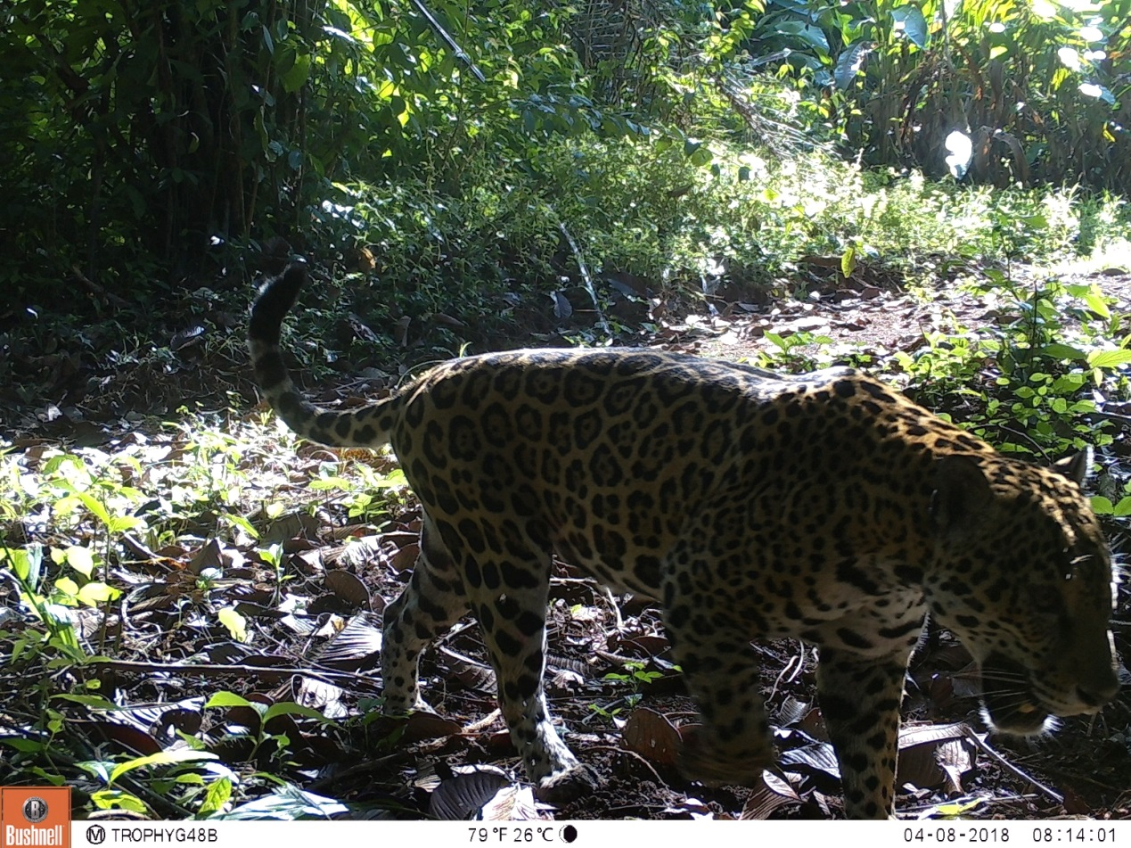 Cameras installed at grid 48 by local community Los Planes caught a young male jaguar in the early hours of the morning.