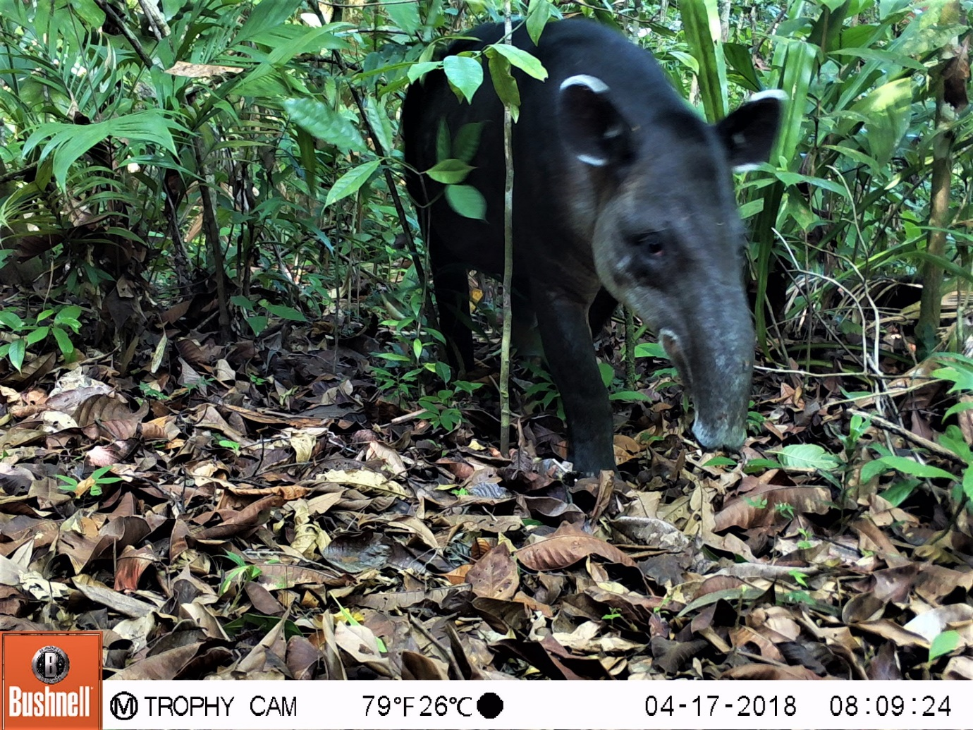 Cameras at grid 47 also caught the hemisphere's large terrestrial mammal, the Baird's tapir, passing over the ridge on the edge of Corcovado National Park.