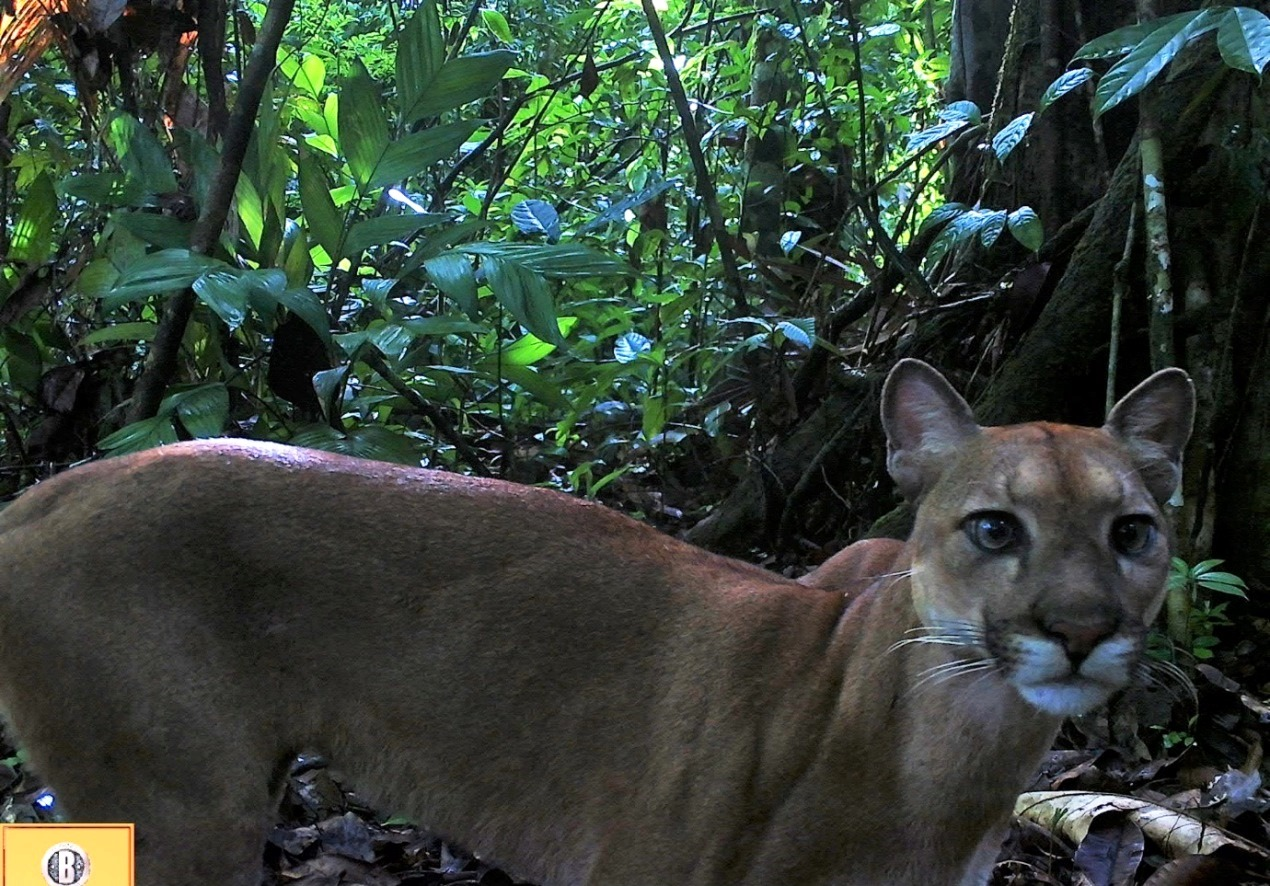 Camera traps installed at grid 47 by the local guides of Punta Marenco Lodge caught a puma (Puma concolor) traveling on a steep ridge in a  wildlife refuge on the edge of Corcovado National Park.
