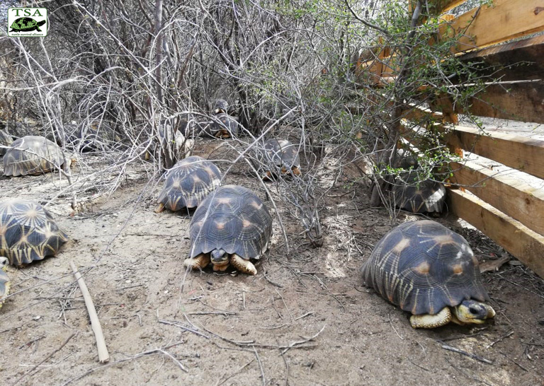 Thousands of radiated tortoises seized from traffickers in