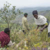 Farmers cut grass and shrub fodder for their livestock. Photo by Maheder Haileselassie Tadese for Mongabay.