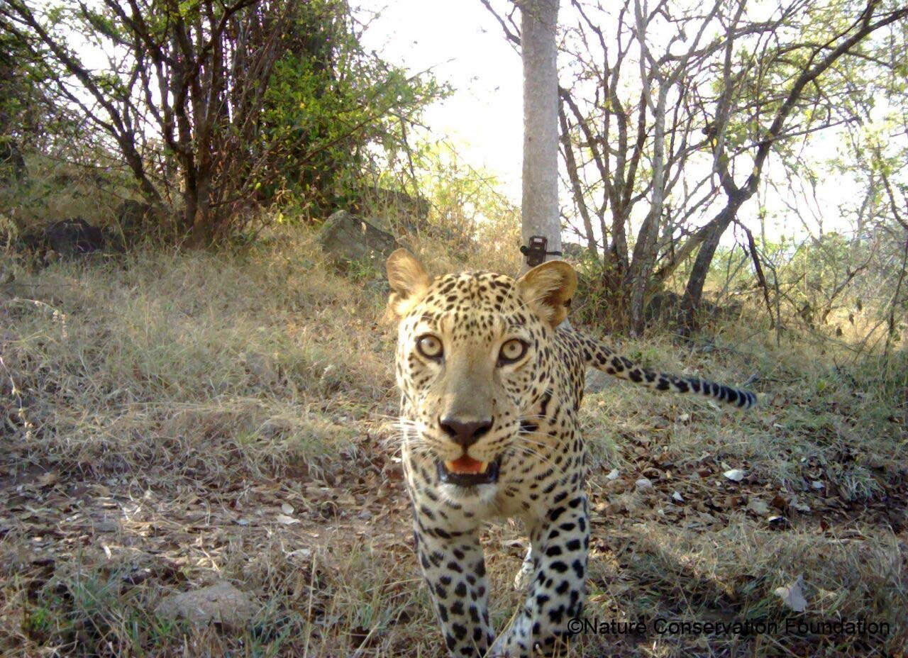 The study found high densities of leopards around agricultural fields, though, as lead scientist Sanjay Gubbi said, these fields tend to be adjacent to forests and other natural vegetation.