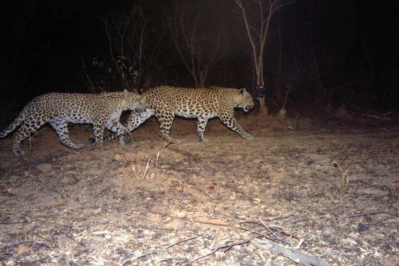 Two leopards on the move. The rosettes and spots of each individual are unique.
