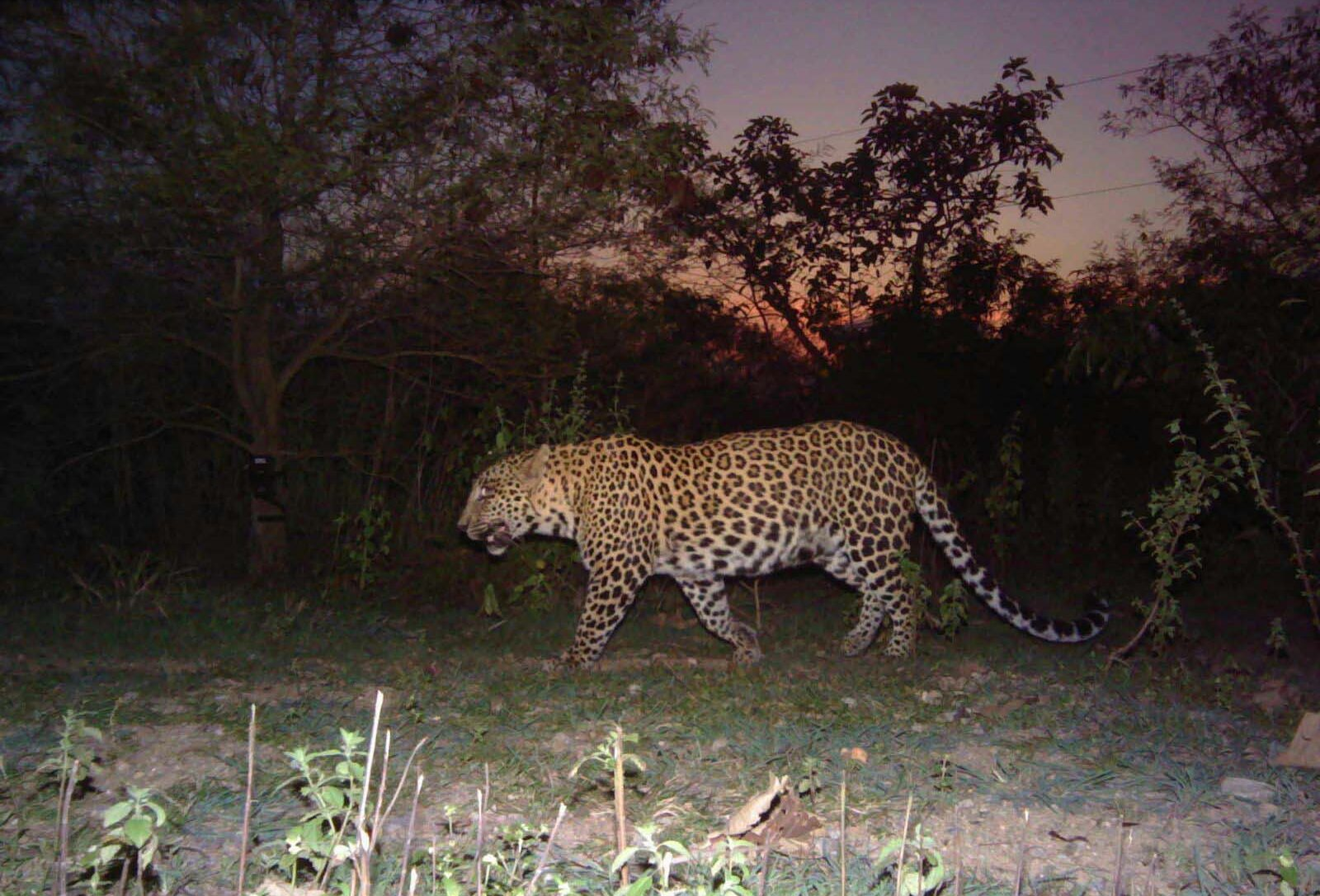 A big leopard at sunset crosses between a pair of camera traps.