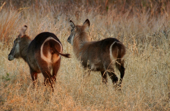 Female waterbucks from behind in Zimbabwe. Photo by: Tiffany Roufs